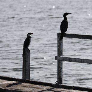 Birds_Pier